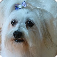 Adopt A Pet :: Ally - Chesterfield, MO