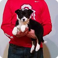 Adopt A Pet :: Bear - South Euclid, OH