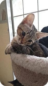 Domestic Shorthair Kitten for adoption in Westminster, California - Teddy