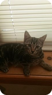 Domestic Shorthair Kitten for adoption in Maybrook, New York - JILL