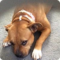 Adopt A Pet :: Roxanne - Worcester, MA