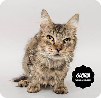 Domestic Mediumhair Cat for adoption in Wyandotte, Michigan - Gloria