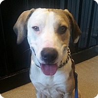 Hound (Unknown Type)/Beagle Mix Dog for adoption in Austin, Texas - Wade
