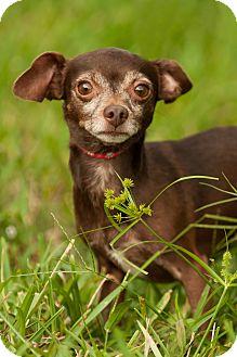 Chihuahua Dog for adoption in Palm Harbor, Florida - Kopi