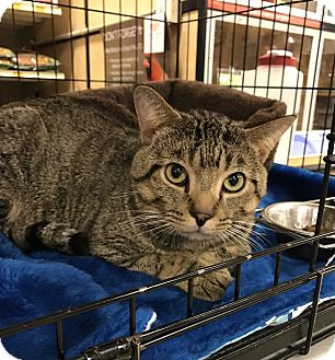 Domestic Shorthair Cat for adoption in Barrington Hills, Illinois - Hunter