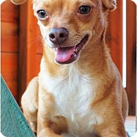 Chihuahua Mix Dog for adoption in Irvine, California - SCOOBY