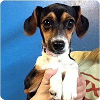 Adopt A Pet :: Pocket beagle - Pompton Lakes, NJ