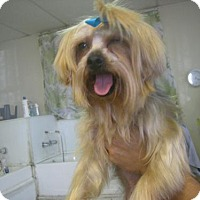 Yorkie, Yorkshire Terrier Dog for adoption in Moreno Valley, California - Antonia