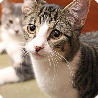 Domestic Shorthair Cat for adoption in Dallas, Texas - Dion