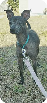 Italian Greyhound/Terrier (Unknown Type, Medium) Mix Dog for adoption in Palm Harbor, Florida - Staples URGENT FOSTER NEEDED