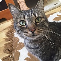 Domestic Shorthair Cat for adoption in Bryn Mawr, Pennsylvania - Daisy/LAP CAT/ Special Needs