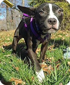 Terrier (Unknown Type, Medium) Mix Dog for adoption in Detroit, Michigan - Chelsea-Adopted!