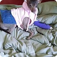 Adopt A Pet :: Penny in Michigan - Lansing, MI