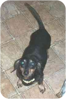 Dachshund Dog for adoption in Lawndale, North Carolina - Thurman