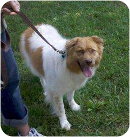 Australian Shepherd/Spitz (Unknown Type, Small) Mix Dog for adoption in Delaware, Ohio - Sadie