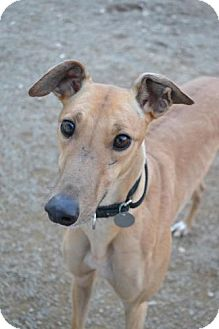 Greyhound Dog for adoption in Chagrin Falls, Ohio - Jax Kubota