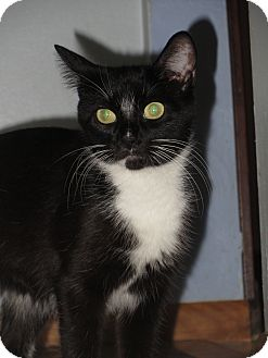 Domestic Shorthair Cat for adoption in Richfield, Ohio - Hope