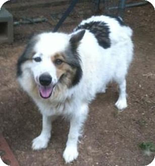 American Eskimo Dog Australian Shepherd Mix Dog for adoption in Irmo    Australian Eskimo