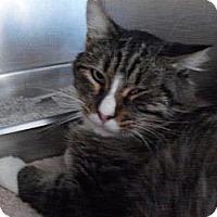 Adopt A Pet :: Chewbacca - El Cajon, CA