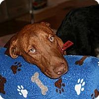 Hound (Unknown Type)/Labrador Retriever Mix Dog for adoption in New York, New York - Eli