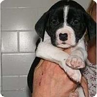 Adopt A Pet :: Surge - Alexandria, VA
