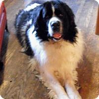 Adopt A Pet :: Spirit - Lee's Summit, MO
