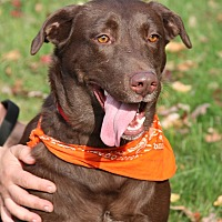 Labrador Retriever Dog for adoption in SOUTHINGTON, Connecticut - Latte