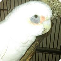 Adopt A Pet :: Chuckles - Villa Park, IL