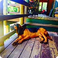 Adopt A Pet :: Beauregard - Fayetteville, AR
