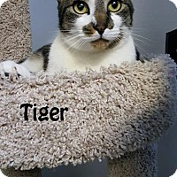 Adopt A Pet :: Tiger - Redwood City, CA