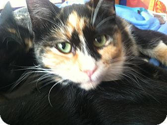 Domestic Shorthair Cat for adoption in Alamo, California - Dakini