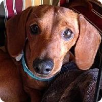 Adopt A Pet :: Milo Elf - Houston, TX