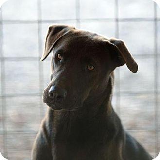 Labrador Retriever Mix Dog for adoption in Clifton, Texas - Ziva