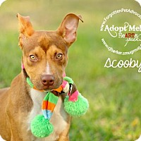 Adopt A Pet :: Scooby - Pearland, TX