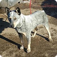 Adopt A Pet :: Bluedog - Ogden, UT