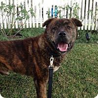 Adopt A Pet :: Moose - Santa Monica, CA