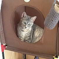 Domestic Shorthair Cat for adoption in Fairfax, Virginia - dobby