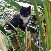 Domestic Shorthair Cat for adoption in Tampa, Florida - Sammy the Cat