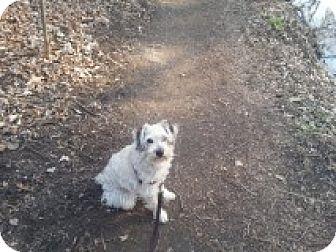 Poodle (Miniature) Mix Dog for adoption in Cambridge, Ontario - Beaker