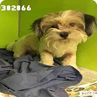 Adopt A Pet :: PEACHES - San Antonio, TX