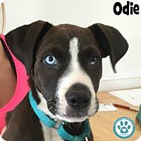 Adopt A Pet :: Odie - Kimberton, PA