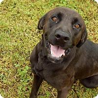 Adopt A Pet :: Velvet - Lawrenceville, GA