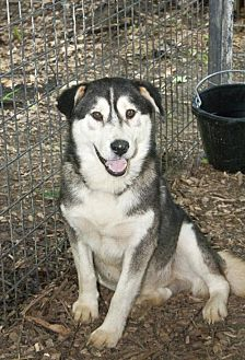 Husky Mix Dog for adoption in Poland, Indiana - Freddy