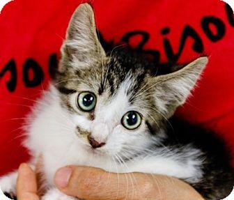 Domestic Shorthair Kitten for adoption in Oakland Park, Florida - Survivor