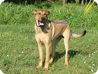 Shepherd (Unknown Type) Mix Dog for adoption in Cameron, Missouri - Ross