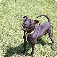 Adopt A Pet :: Beau - Boston, MA