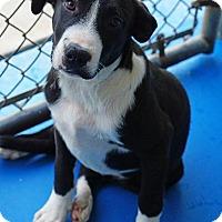 Great Dane/Labrador Retriever Mix Puppy for adoption in Waterbury, Connecticut - Zaxby