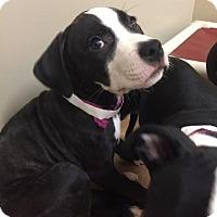 Pit Bull Terrier Mix Puppy for adoption in Philadelphia, Pennsylvania - Pam
