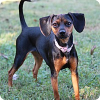 Adopt A Pet :: Bella - Yadkinville, NC