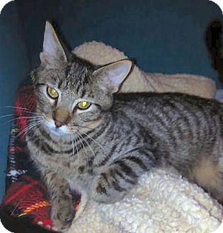 Domestic Shorthair Cat for adoption in El Cajon, California - Mouse